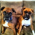 boxers-dogs